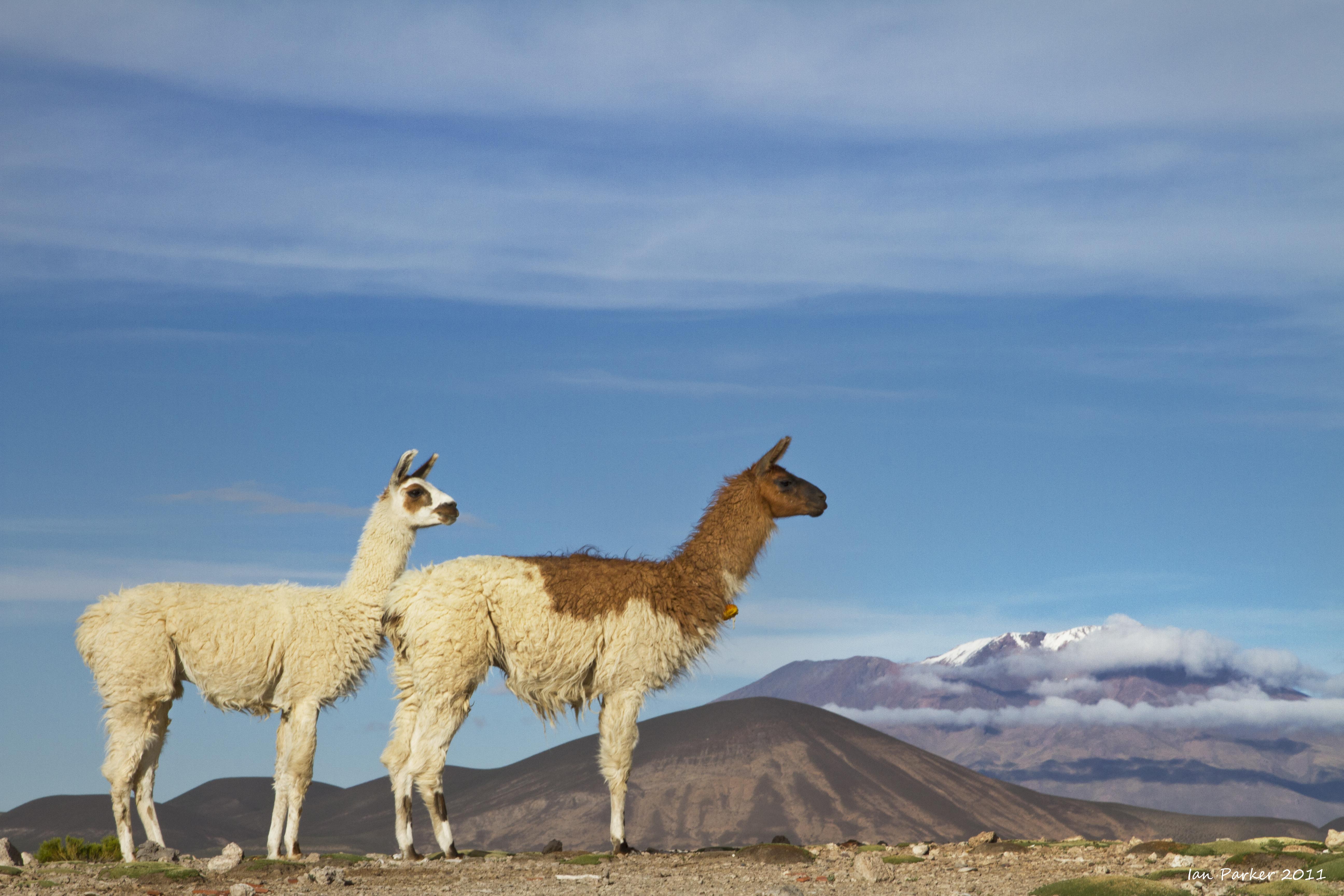 evanescent light   bolivia  u0026 chile  wildlife