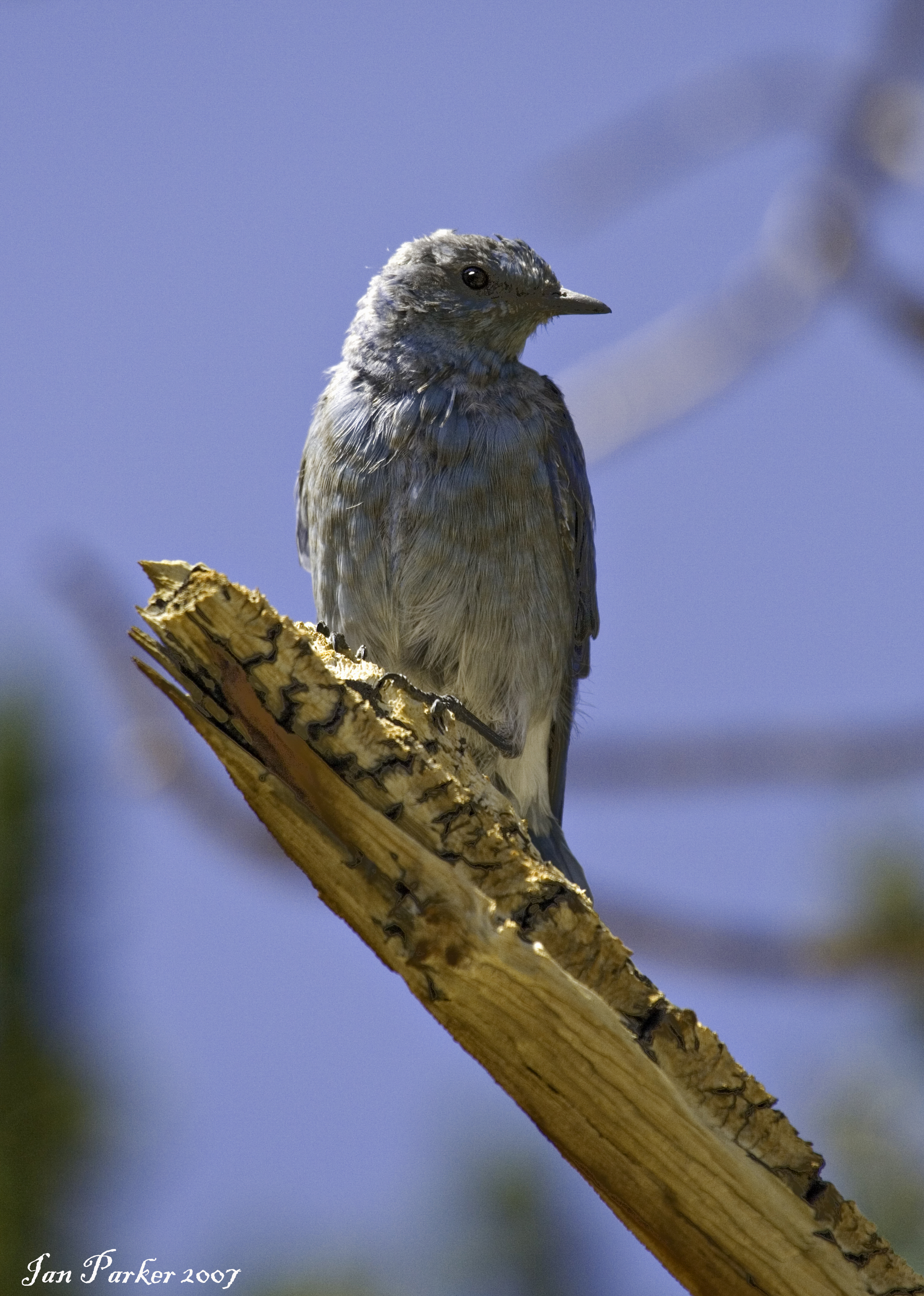 Bristlecone Pine snag : mountain bluebird, California dans A. UCCELLI IMG_3981_tweak
