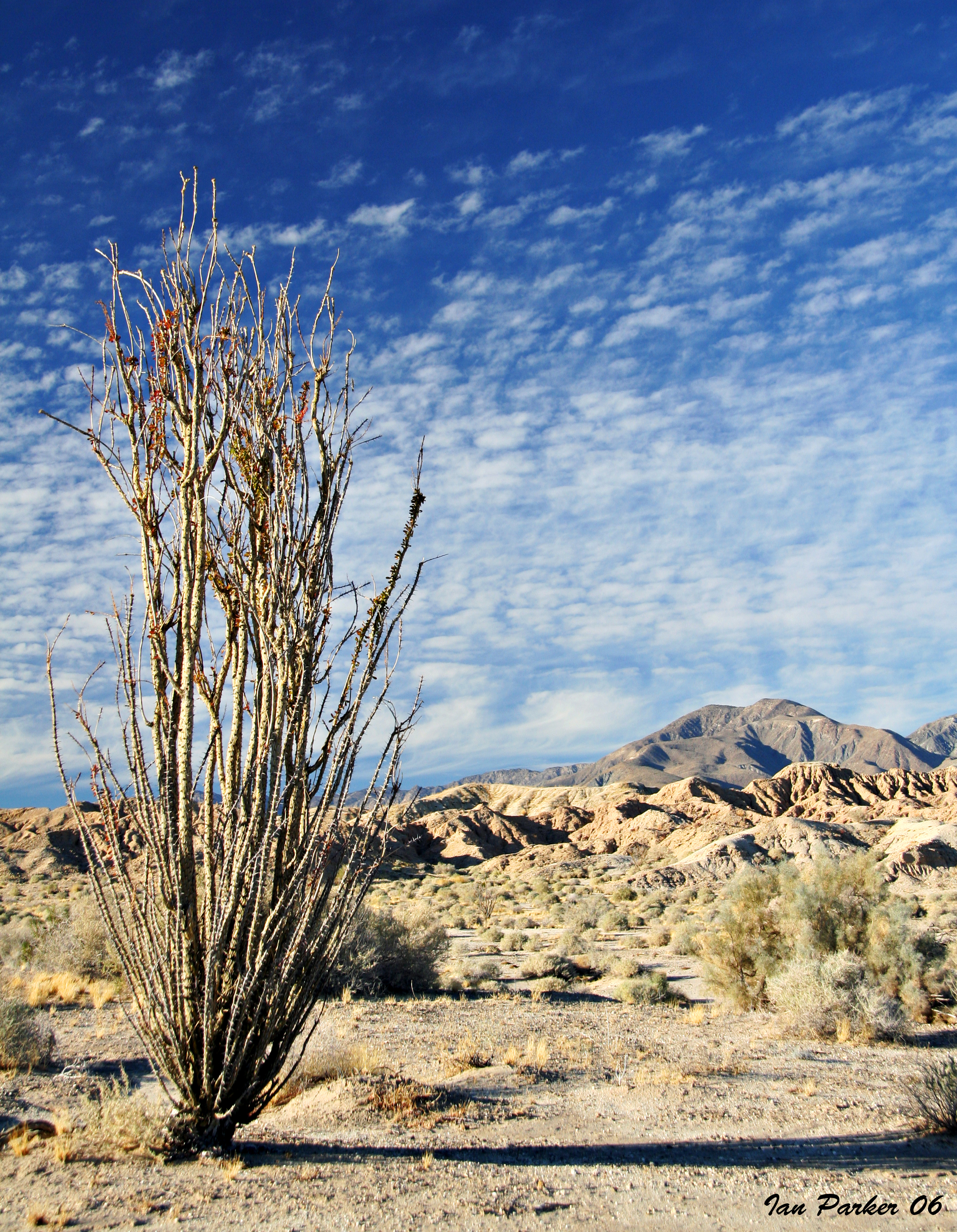 classic anza borrego ocotillo in badlands